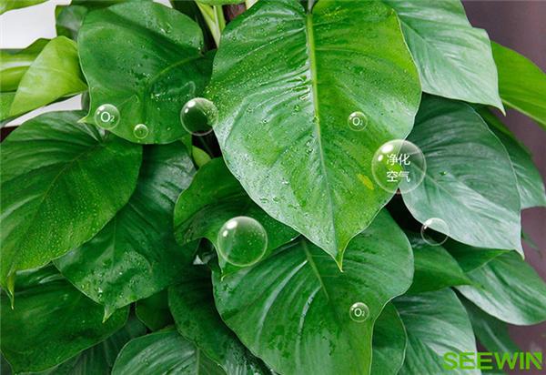 吸附甲醛的绿植|万博体育官方下载万博体育下载ios