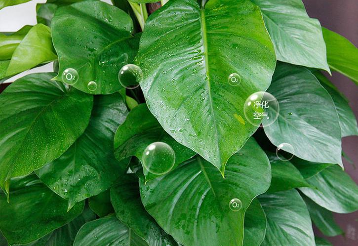 大叶绿萝可以吸附办公室甲醛吗?